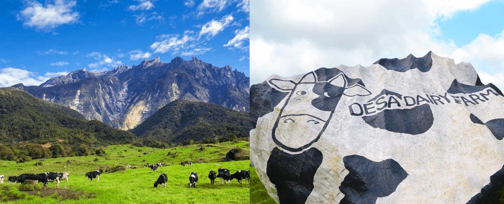 """New Zealand Malaysia"" Ada Di Desa Cattle Dairy Farm Kundasang"