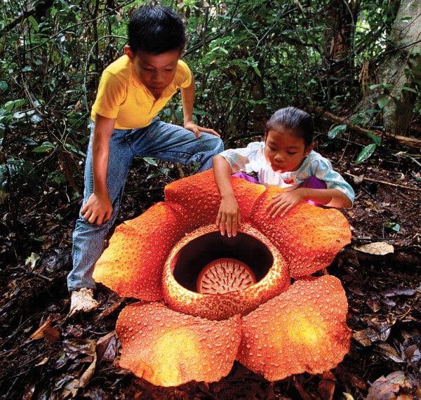 Rafflesia - Fakta Bunga Borneo yang Perlu Anda Tahu