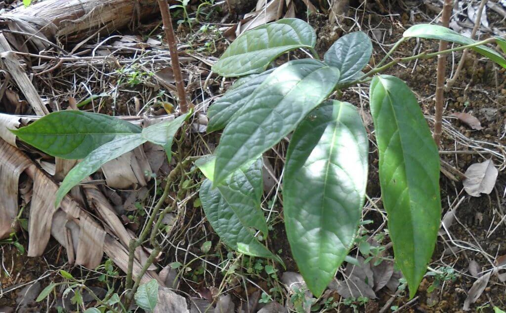Tahukah anda bahawa terdapat satu tumbuhan liar yang boleh menggantikan MSG