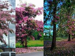 "Fenomena Bunga ""Sakura"" Kembali Lagi di Kuching"