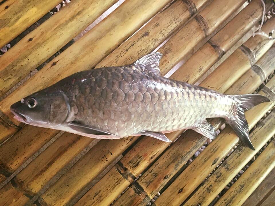 Sekilo Cecah Ribuan Ringgit, Empurau Ikan Paling MEWAH di Malaysia
