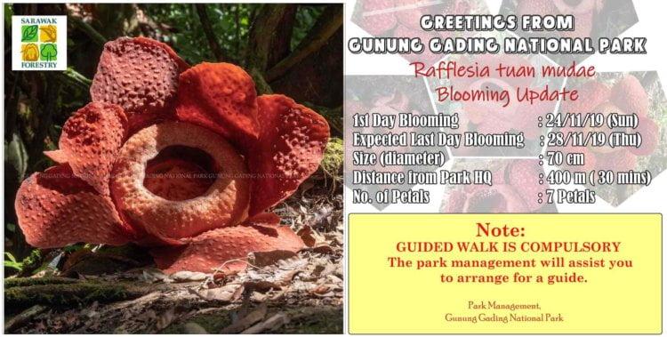 Peluang Saksikan Bunga Rafflesia Yang Sedang Mekar di Taman Negara Gunung Gading