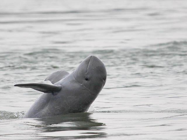 Kenali Satu-Satunya Spesis Lumba-Lumba Di Sarawak