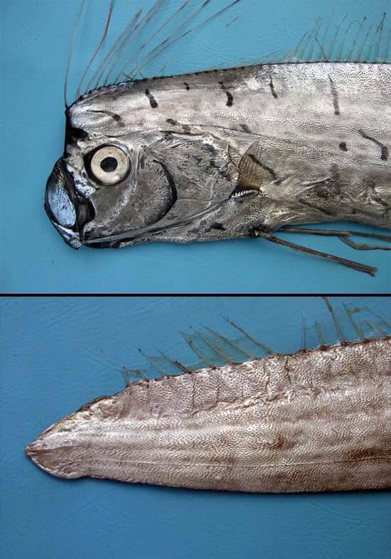 Gempar Penemuan Ikan Naga Di Miri, Ini 8 Fakta Menarik Mengenainya