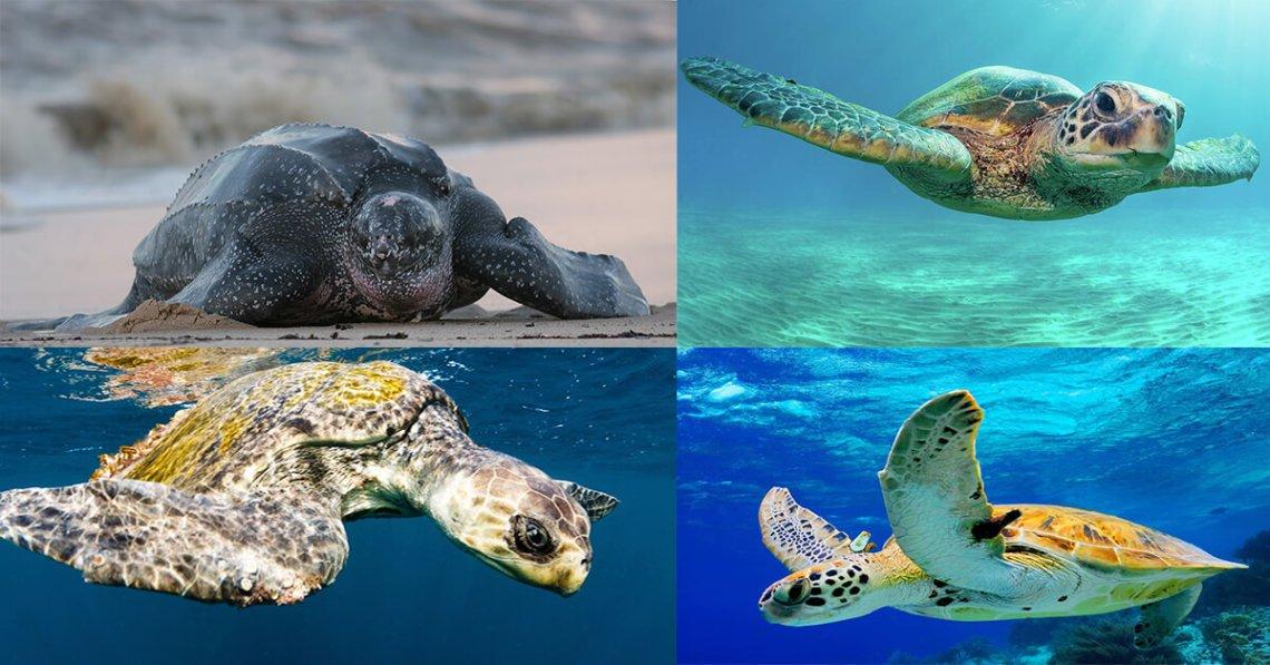 Kenali 4 Spesis Penyu Laut Yang Ada Di Malaysia
