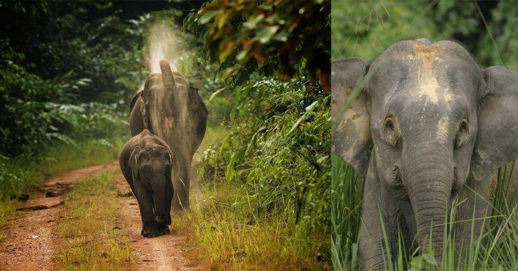 Kenali Salah Satu Gajah Asia Yang Tinggal Di Borneo
