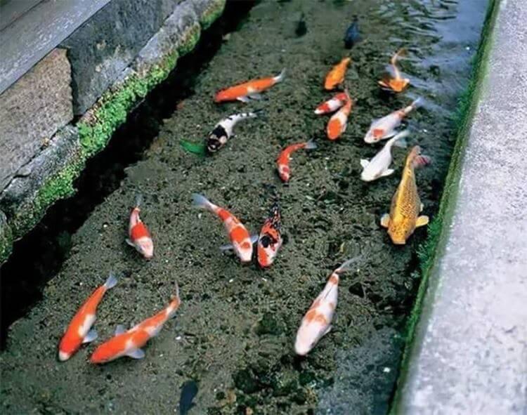 Ilham Dari Jepun, Longkang Jernih Sekolah Di Miri Ini Siap Ada Ikan Koi
