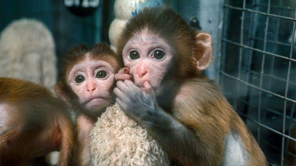 6 Ekor Monyet 'Kebal' Selepas Disuntik Vaksin Dari Oxford