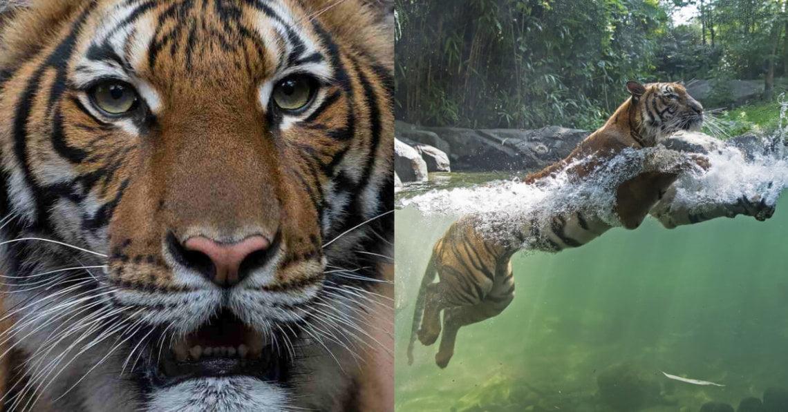 'Nadia', Seekor Harimau Malaya Disahkan Positif COVID-19 Di Zoo New York