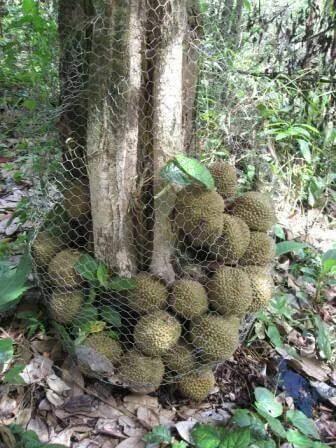 Kenali 4 Jenis Durian Hutan Di Borneo Yang Pasti Menggamit Selera Anda