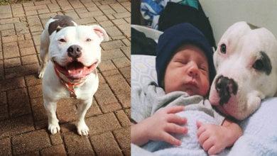 Photo of Ini 5 Salah Faham Tentang Anjing Pit Bull