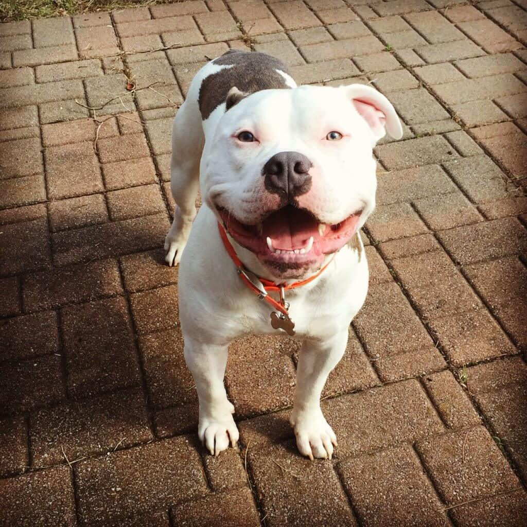 Ini 5 Salah Faham Tentang Anjing Pit Bull