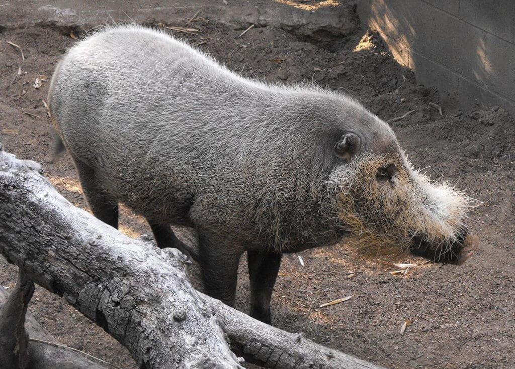 Lebih Kurang 30 Ekor 'Babi Berjanggut Borneo' Ditemui Mati Secara Misteri
