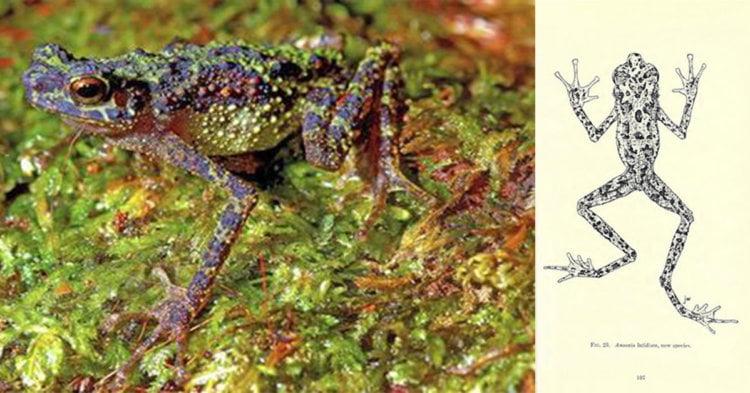 Borneo Rainbow Toad, Kodok Dipercayai Pupus Tapi Ditemui Semula 87 Tahun Kemudian