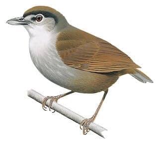 Burung Dikhuatiri Pupus 172 Tahun Lalu Ditemui Semula Di Borneo