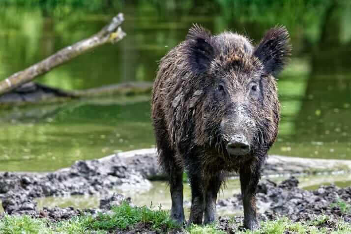 Demam Babi Afrika Ragut Hampir 100 Ekor Babi Berjanggut Borneo Di Sabah