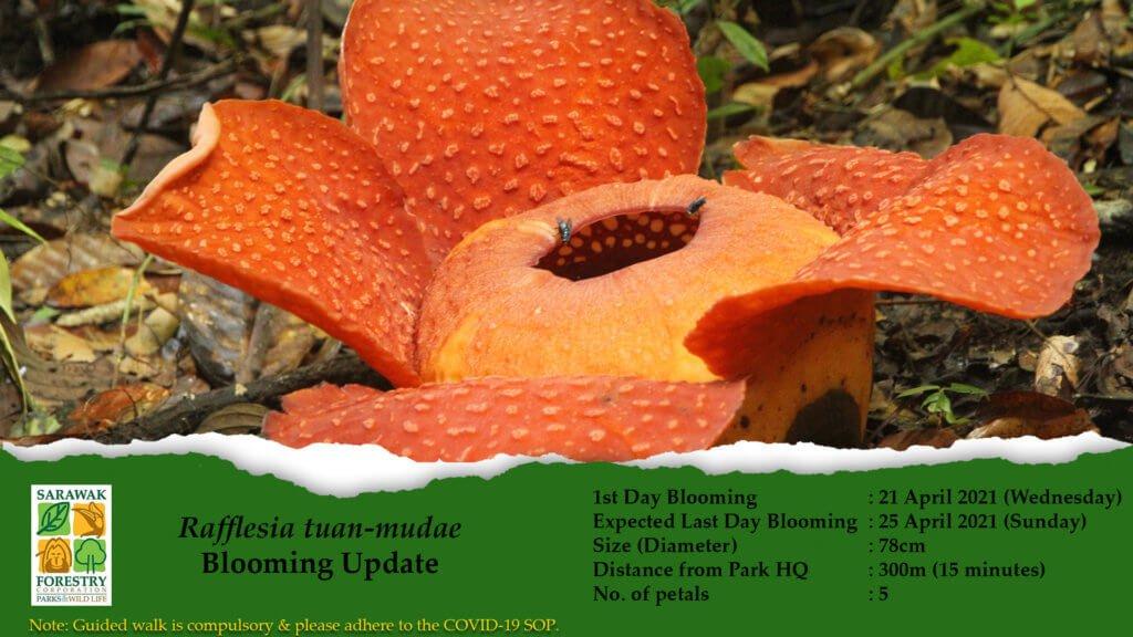 Rafflesia Mekar Di Taman Negara Gunung Gading Bermula 21 Hingga 25 April Ini
