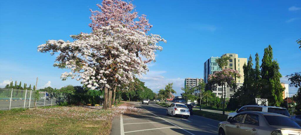 """Macam Di Jepun, Penampang Jadi Tumpuan OOTD Kerana Fenomena Bunga """"Sakura"""""""