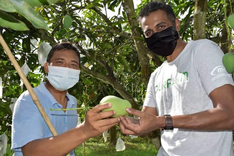 Mangga Harumanis Perlis Kini Boleh Didapati Di Sabah Melalui Air Asia Farm