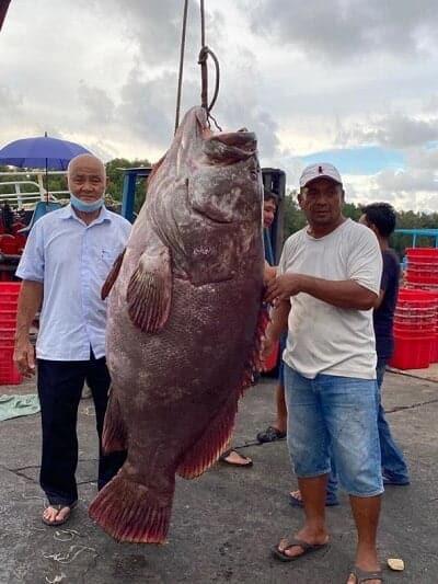 Tangkapan Jackpot, Nelayan Miri Raih Ikan Kerapu Gergasi Seberat 161kg