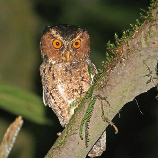 Burung Hantu Spesies Sangat Rare Ditemui Di Sabah Setelah 125 Tahun