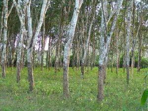 Boleh Menghasilkan Mentega Bebas Tenusu, Kenali Buah Engkabang Yang Hanya Tumbuh Setiap 5 Tahun Di Sarawak