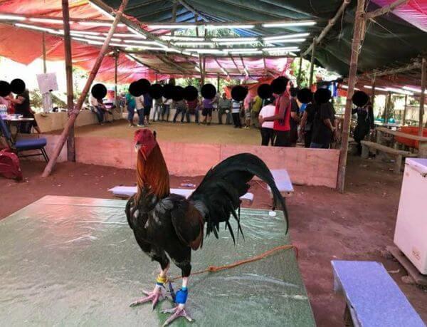 Balasan Aniaya Binatang, 4 Lelaki Dicekup Ketika Sedang Asyik Menyabung Ayam Semasa PKP Di Simunjan