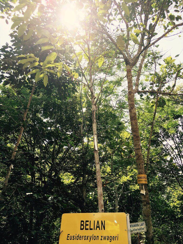 Dikenali Sebagai Borneo Ironwood, Ini Adalah Pokok Belian Yang Merupakan Pokok Rasmi Negeri Sarawak