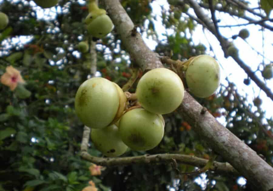 Digelar Avocado Versi Malaysia, Kenali Buah Engkalak Yang Hanya Terdapat Di Borneo