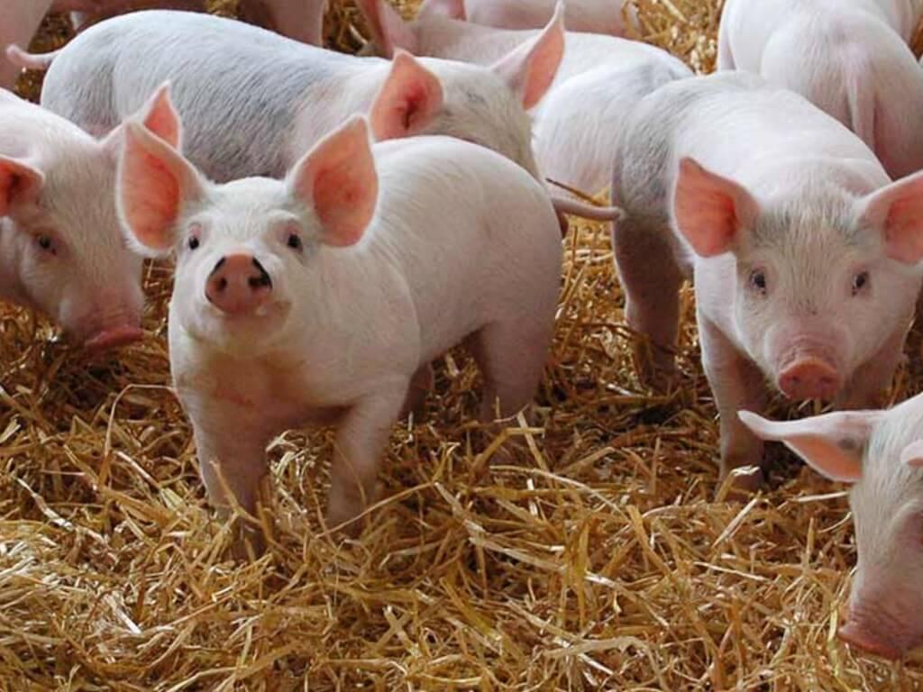 Kapit, Telang Usan Sarawak Kini Diisytiharkan Dalam Kawasan Kawalan Demam Babi Afrika