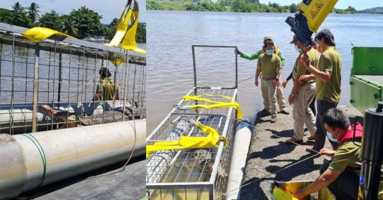 Kerap Muncul Di Sungai, 'Bujang Satok' Ini Berjaya Ditangkap Di Tebingan Kuching